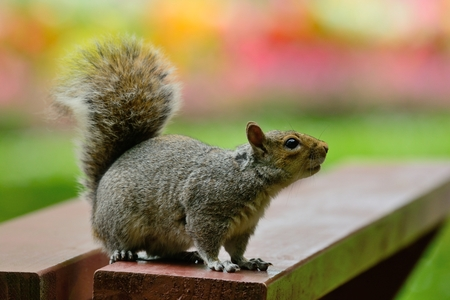Portrait of a grey squirrel sitting on a picnic table with a colourful background