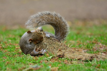 Portrait of a cute grey squirrel playing with a tuft of grass in the park