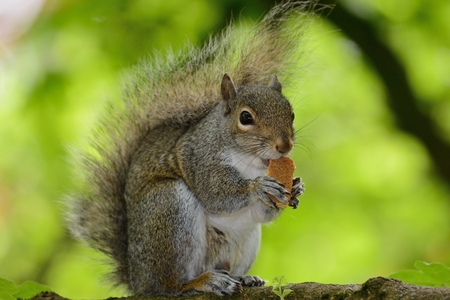 Portrait of a Western grey squirrel sitting on a branch while eating a piece of bread