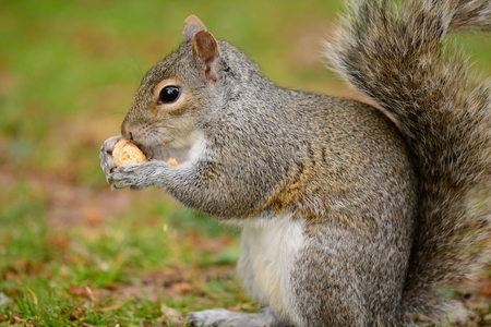side view of a grey squirrel sitting on the grass while eating a nut