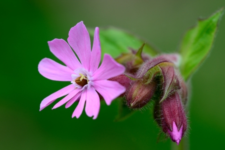 Macro shot of a red campion (silene dioica)