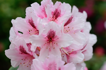 Close up of pink rhododendron flowers