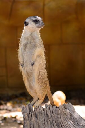 Portrait of a meerkat standing on a log