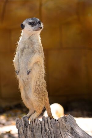 Portrait of a meerkat standing on a tree stump Stock Photo