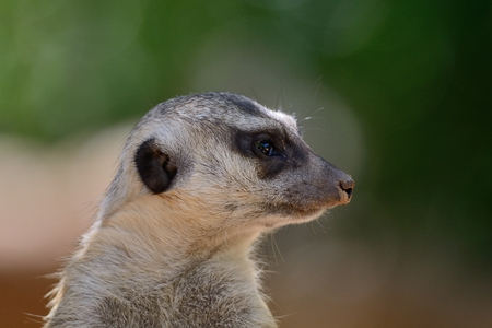 Close up head shot of a meerkat