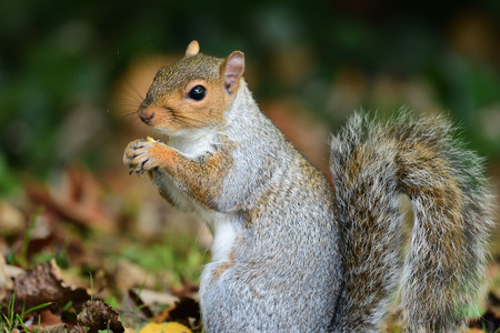 Low angle view of a wild grey squirrel eating a nut Stock Photo
