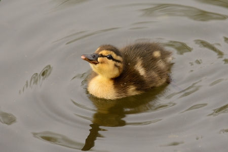 Portrait of a baby duckling in the water