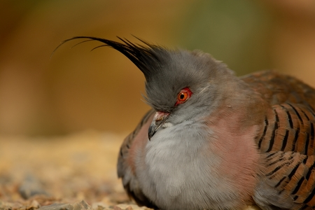Portrait of a crested pigeon