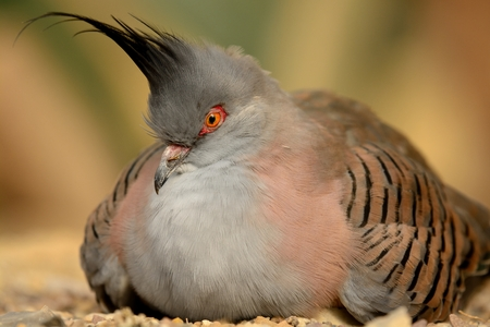Portrait of a crested pigeon sitting on the ground Stock fotó