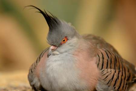 Portrait of a crested pigeon (ocyphaps lophotes)
