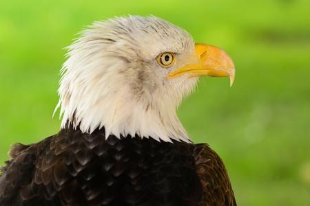 Head shot of a bald eagle