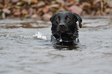 portrait of a young black Labrador retriever swimming in the water Stock Photo