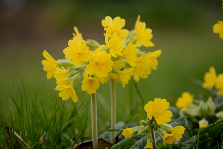 Primula veris (cowslpip) flower in bloom