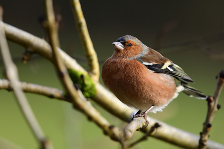 Portrait of a common chaffinch (fringilla coelebs) perching on a branch Stock Photo