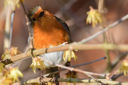 Portrait of a European robin perching in a tree Stock Photo