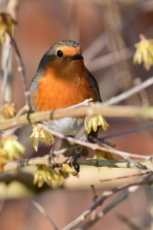 European robin perching in a tree (erithacus rubecula) Stock Photo