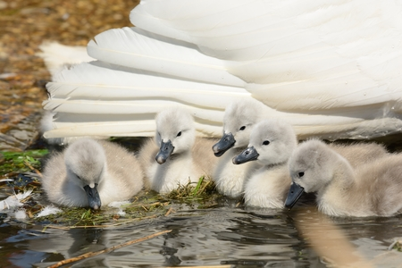 Portrait of newborn cygnets in the water next to their mother