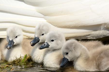 Newborn mute swan cygnets in the water with their mother