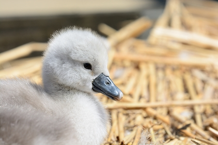 Close up portrait of a newborn mute swan cygnet in the nest Stock Photo
