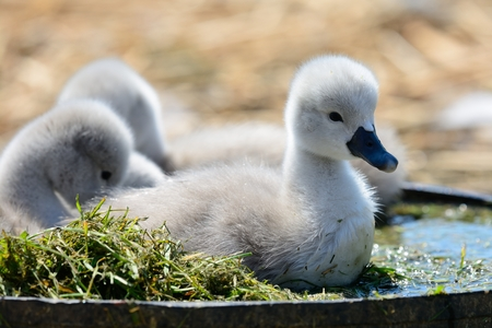 Close up of newborn cygnets in a bucket of water Stock Photo