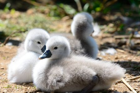 Close up of mute swan cygnets on the ground Stock Photo