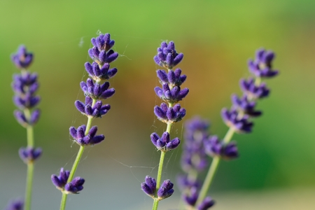 Close up of lavender flowers in bloom Stock Photo