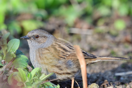 Close up portrait of a dunnock (primula modularis) in the garden Banco de Imagens