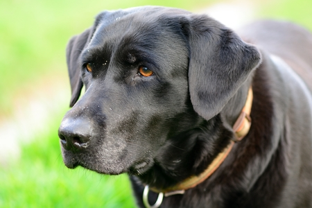 Close up portrait of a senior black Labrador retriever