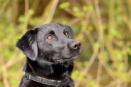 Head shot of an attentive black Labrador in the woods Stock Photo
