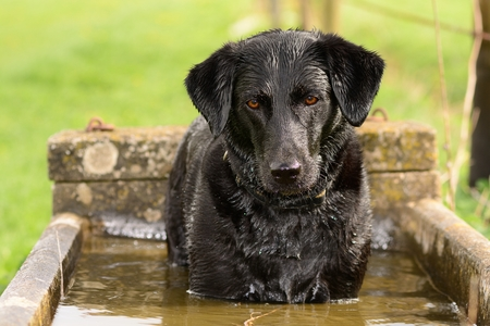 Portrait of a soggy Black Labrador standing in a water trough Stock Photo