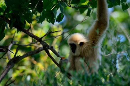 Portrait of a gibbon in the trees
