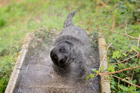 Portrait of a wet black Labrador retriever in a water trough shaking off water