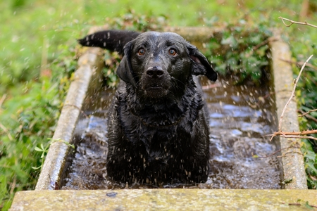 Portrait of a soggy black Labrador retriever standing in a water tank