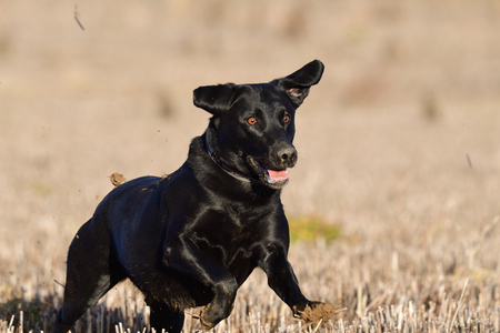 Portrait of a pedigree black Labrador running in a field