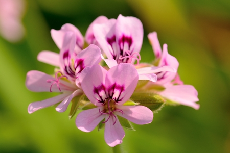 Close up of pink pelargonium flowers in bloom with a green background