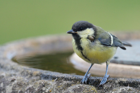 Portrait of a young great tit (Parus major) perching on a bird bath Stock Photo