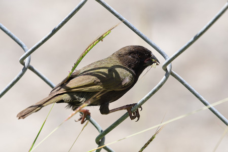 Close up portrait of a yelow shouldered grassquit perching on a chainlink fence