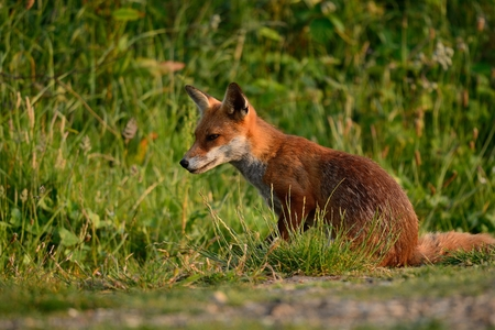 Close up portrait of a wild fox sitting in a meadow