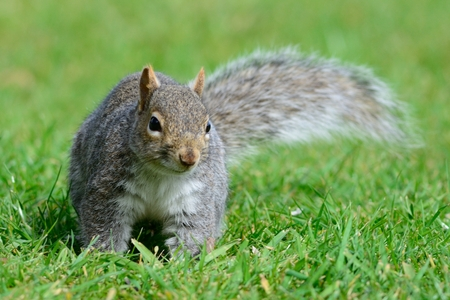 Close up portrait of a grey squirrel in the park