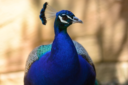 head shot of a peacock