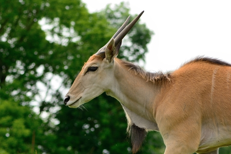 Side view of a common eland