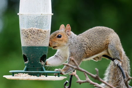 Close up of a grey squirrel stealing food from a bird feeder