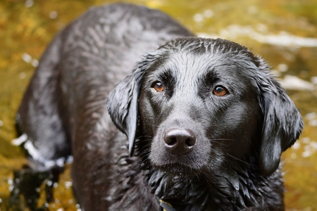 Portrait of a wet black Labrador standing in a river