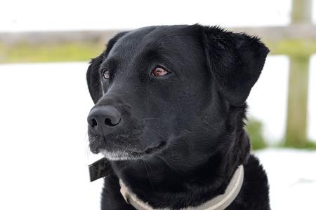 Head shot of a cute black Labrador outside on a snowy day