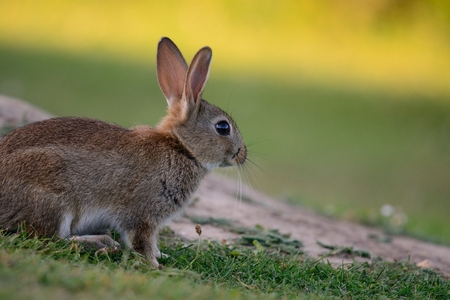 Side view of a wild rabbit sitting in a meadow