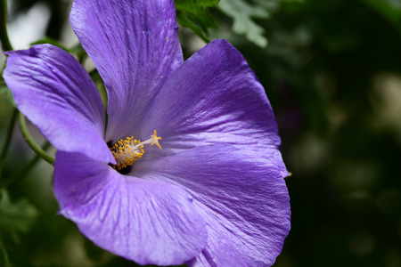 Close up of a lilac coloored hibiscus flower in bloom Stock fotó