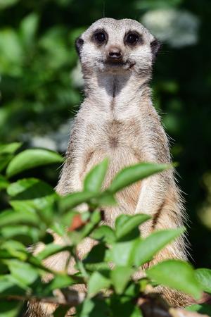 Portrait  of a meerkat (suricata suricatta) standing up amongst lush foliage