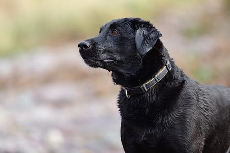 Close up portrait of a wet back Labrador retriever
