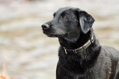 Close up portrait of a wet back Labrador