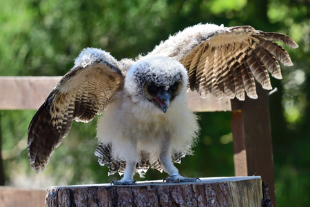Portrait of a baby brown wood owl (strix leptogrammica) with open wings Stock Photo